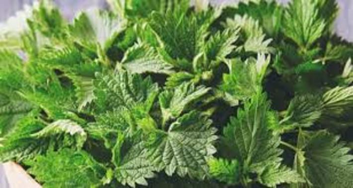 خواص گزنه؛ 16 خاصیت گیاه گزنه که سرشار از ویتامین D است خواص گزنه؛ 16 خاصیت گیاه گزنه که سرشار از ویتامین D است